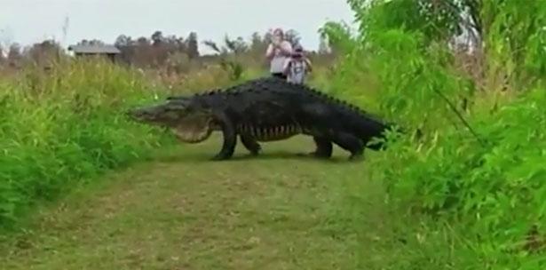 Enorme cocodrilo cruzando un sendero en Florida se vuelve viral